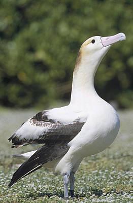 Short-tailed Albatross Lone Female Art Print by Tui De Roy