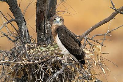 Birds Of Israel Photograph - Short-toed Snake Eagle Circaetus Gallicus by Photostock-israel