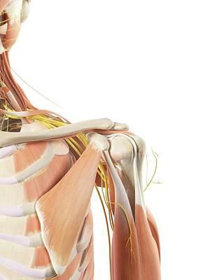 Shoulder Anatomy Art Print by Sciepro