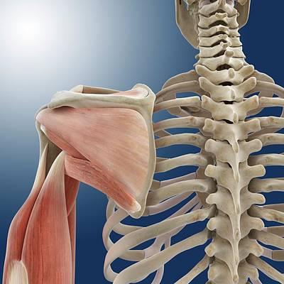 Articulation Photograph - Shoulder And Arm Anatomy by Springer Medizin