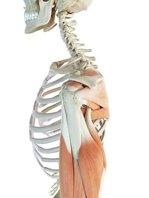 Shoulder Muscles Art Print by Sciepro