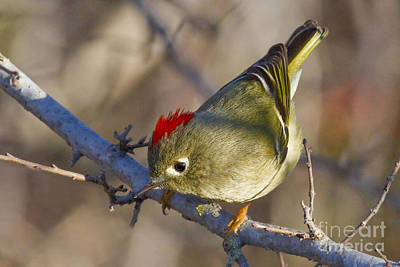Ruby-crowned Kinglet Birds Photograph - Show-off by Gary Holmes