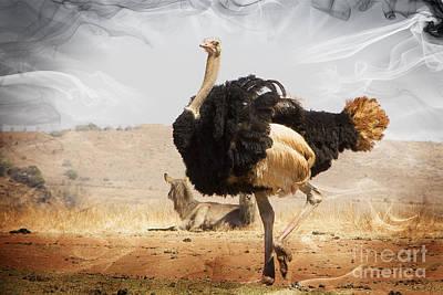 Ostrich Photograph - Show-off Modern by Douglas Barnard
