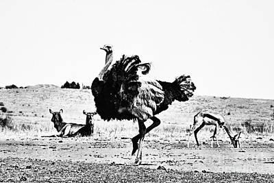 Ostrich Photograph - Show-off V2 by Douglas Barnard