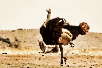Ostrich Photograph - Show-off V4 by Douglas Barnard