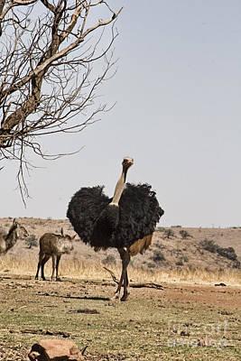 Ostrich Photograph - Show-off V6 by Douglas Barnard
