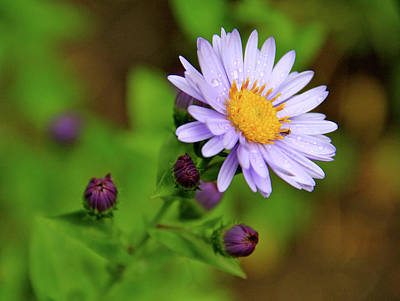 Showy Aster Art Print by Ed  Riche