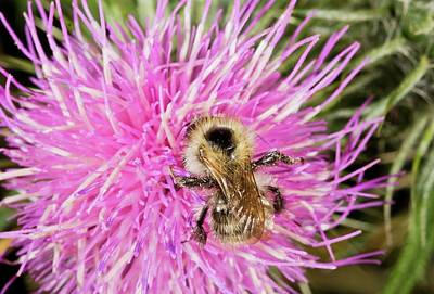Knapweed Photograph - Shrill Carder Bee On Knapweed Flower by Bob Gibbons