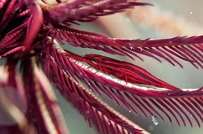 Crinoid Photograph - Shrimp On The Arm Of A Featherstar by Scubazoo