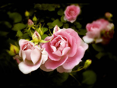 Photograph - Shrub Rose by Jessica Jenney