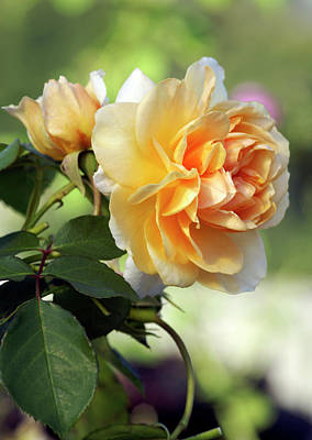 Shrub Rose (rosa 'pegasus') Art Print