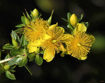 Photograph - Shrubby St Johnswort Dsmf094 by Gerry Gantt