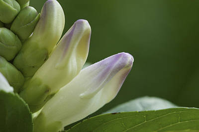 Photograph - Shy Blooms - Rose Turtlehead by Jane Eleanor Nicholas