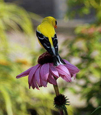 Shy Little Goldfinch Original
