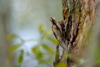 Photograph - Shy Owl by Shannon Harrington
