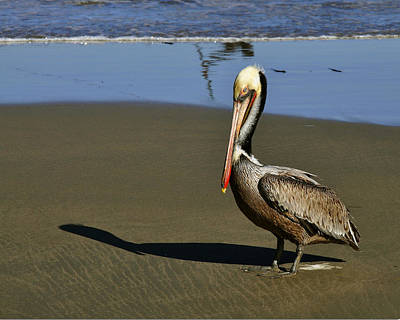 Digital Art - Shy Pelican by Gandz Photography