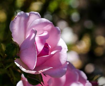 Photograph - Shy Pink Rose Bud by Jordan Blackstone