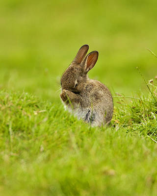 Photograph - Shy Rabbit by Paul Scoullar
