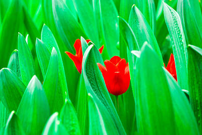 Royalty-Free and Rights-Managed Images - Shy Red Tulips by Alexander Senin
