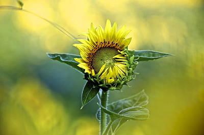 Shy Sunflower Art Print