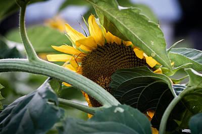 Art Print featuring the photograph Shy Sunflower by Wayne Meyer