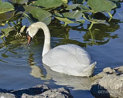 Photograph - Shy Swan by Carol  Bradley