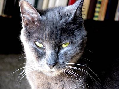Kittie Photograph - Shy Sweet Silverwolf by Chris Gudger