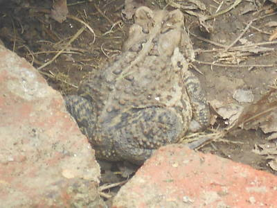 Photograph - Shy Toad by Lila Mattison