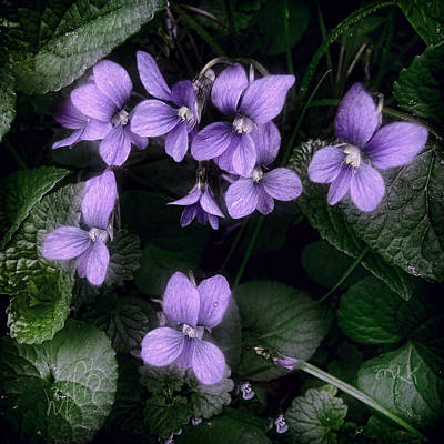 Photograph - Shy Violets by Louise Kumpf