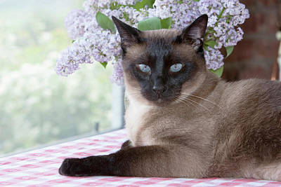 Siamese Photograph - Siamese Cat On Checkered Tablecloth by Piperanne Worcester