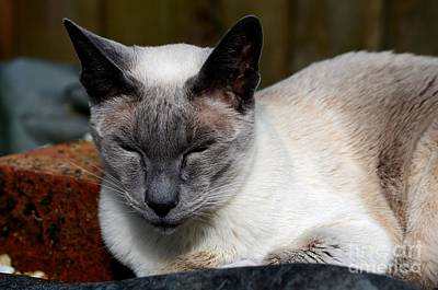 Photograph - Siamese Cat Rests And Basks In Sunlight  by Imran Ahmed