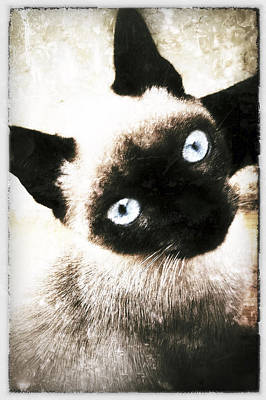 Photograph - Siamese Cat by Selke Boris