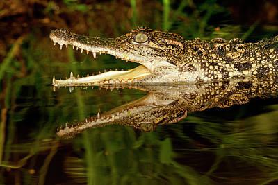 Crocodile Wall Art - Photograph - Siamese Crocodile, Crocodylus by David Northcott