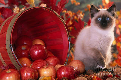 Photograph - Siamese Kitten by Alan and Sandy Carey