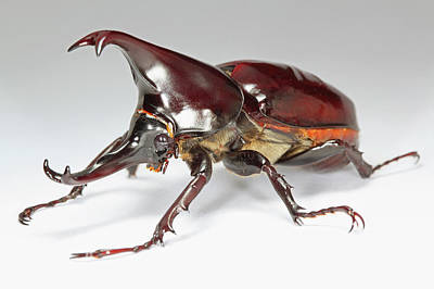 Siamese Rhinoceros Beetle Art Print by Tomasz Litwin