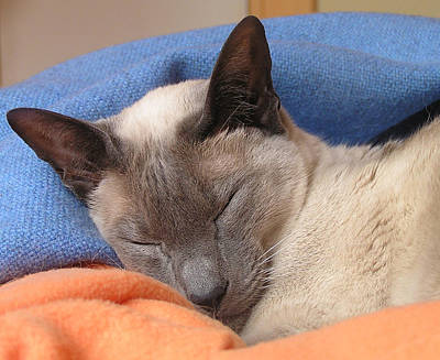 Photograph - Siamese Snooze 2 by Margaret Saheed