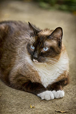 Animal Photograph - Siamese Stare Down by James BO  Insogna