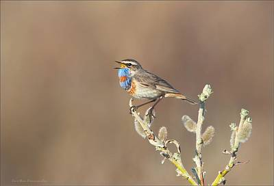Photograph - Siberian Bluethroat by Daniel Behm