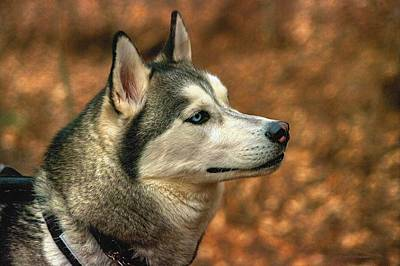 Art Print featuring the photograph Siberian Husky by Dennis Baswell