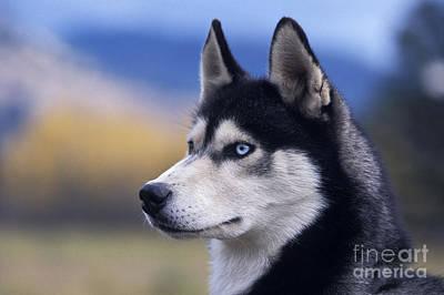 Siberian Husky Dog Art Print