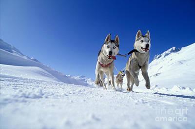 Siberian Husky Dogs Art Print by Rolf Kopfle