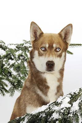 Siberian Husky In Snow Art Print by John Daniels