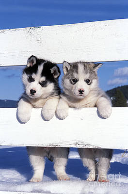 Photograph - Siberian Husky Puppies by Rolf Kopfle