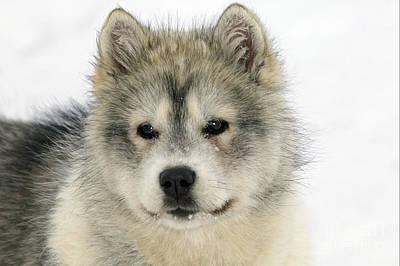 Siberian Husky Puppy Art Print by M. Watson