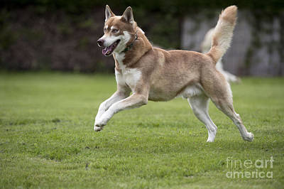Siberian Husky Running Art Print by John Daniels