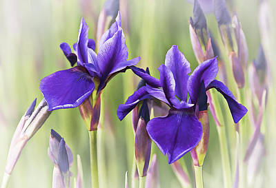 Digital Photograph - Siberian Iris by Marcia Colelli