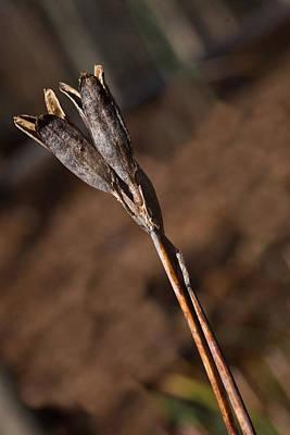 Siberian Iris Photograph - Siberian Iris Seed Pod 1 by Douglas Barnett