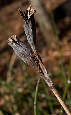 Siberian Iris Photograph - Siberian Iris Seed Pod 2 by Douglas Barnett