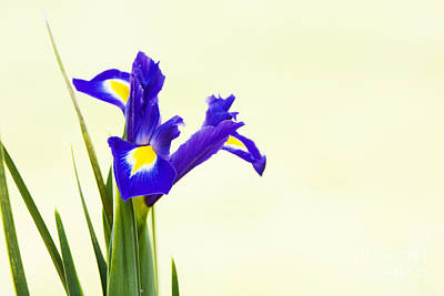 Garden Flowers Photograph - Siberian Iris by Tim Gainey