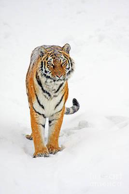Siberian Tiger Animal Print by Boon Mee